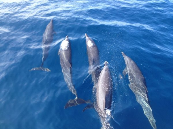 Dolphins swimming at the sea