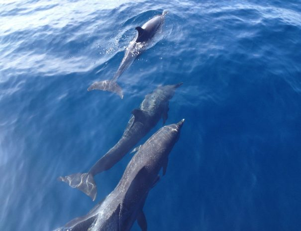 Dolphins at the sea