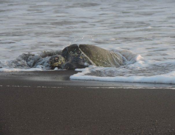 Tortuga saliendo del mar